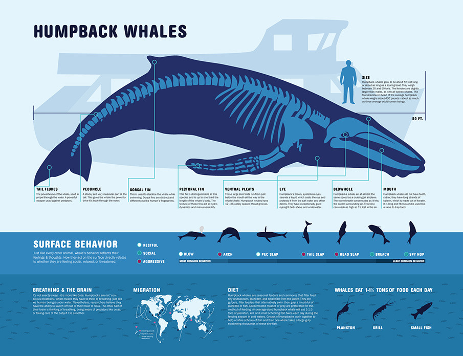 humpback whale humpback whale mother and humpback whale size humpback ...